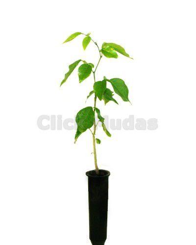 Muda de Coração de Negro - Poecilanthe parviflora