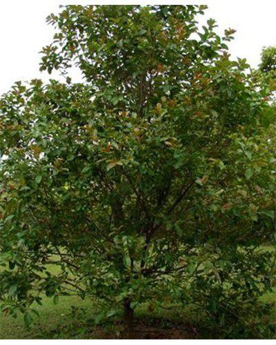 Muda de Dedaleiro - Lafoensia pacari