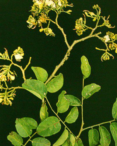 Embira de Sapo Graúdo - Lonchocarpus cultratus - 100g