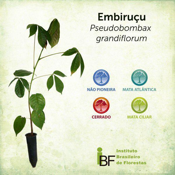 Muda de Embiruçu - Pseudobombax grandiflorum