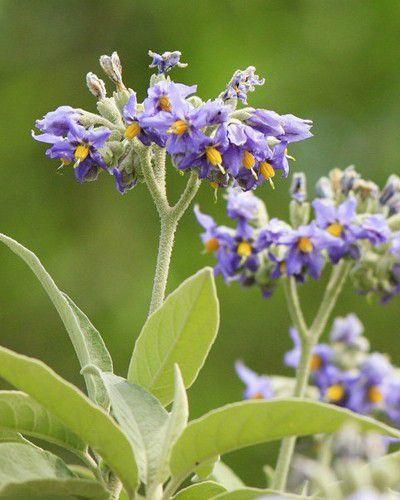 Muda de Fumo Bravo - Solanum granuloso leprosum