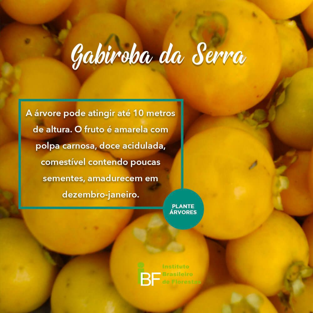 Muda de Gabiroba da Serra - Campomanesia rhombea
