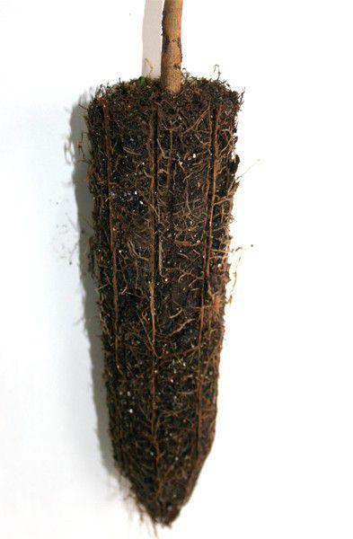 Muda de Gabiroba - Campomanesia xanthocarpa