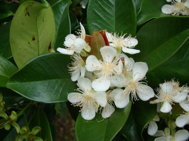 Muda de Grumixama - Eugenia brasiliensis