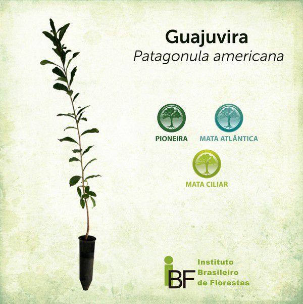 Muda de Guajuvira - Cordia americana