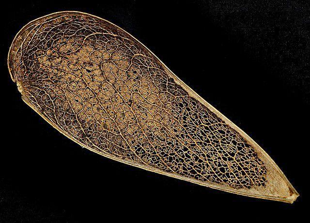 Muda de Guapuruvu - Schizolobium parahyba