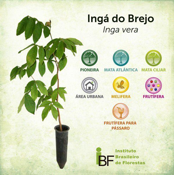 Ingá do Brejo - Inga vera
