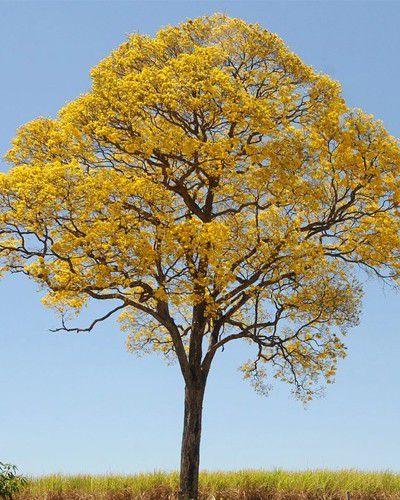 Muda de Ipê Amarelo - Handroanthus ochraceus