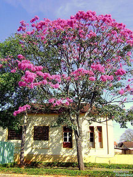 Muda de Ipê Rosa - Handroanthus avellanedae