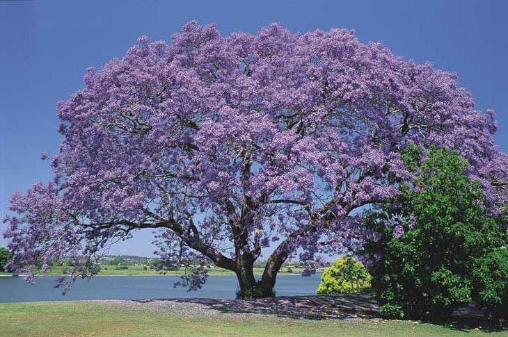 Jacarandá de Minas - Jacaranda cuspidifolia
