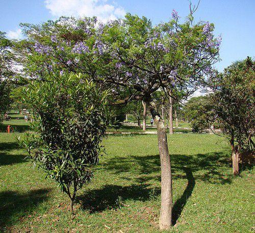 Muda de Jacaranda de Minas - Jacaranda cuspidifolia
