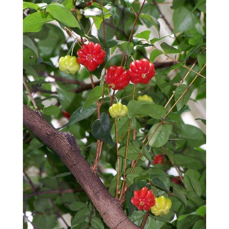 Mix de Mudas Frutíferas Nativas