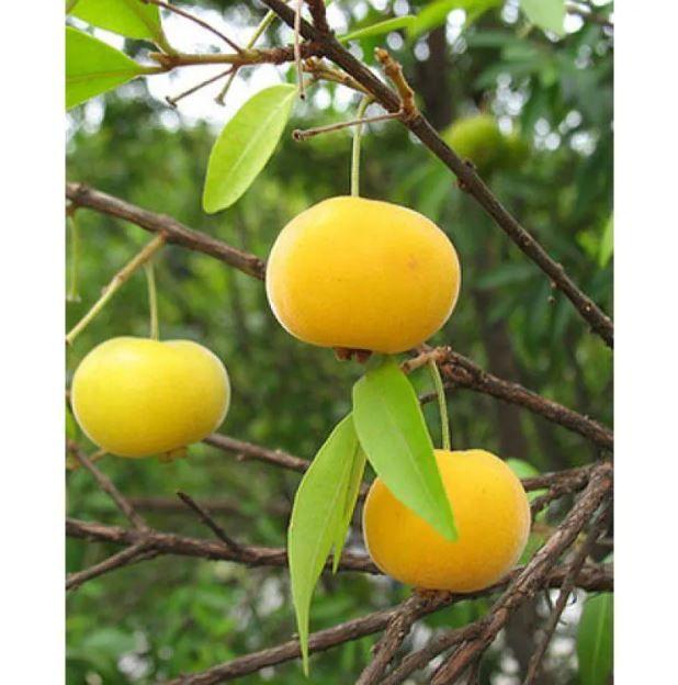Mix de Mudas Frutíferas Nativas - Pacote