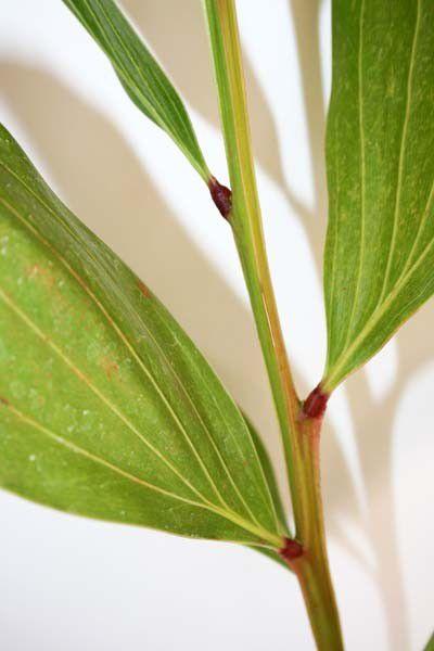 Muda de Acácia Australiana - Acacia mangium
