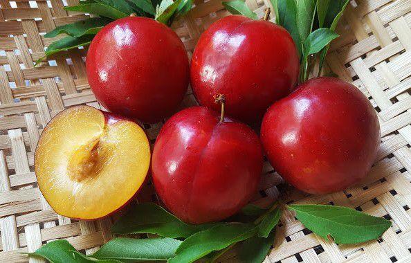 Muda de Ameixa - Prunus salicina