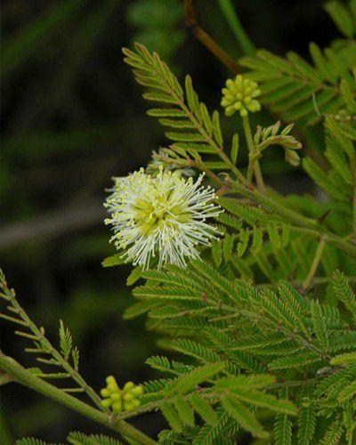 Muda de Angico Branco - Anadenanthera colubrina