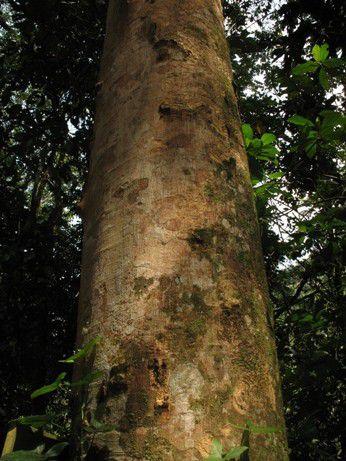 Muda de Angico Branco do Morro - Anadenanthera Peregrina