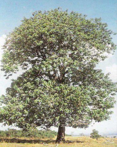 Muda de Capixingui - Croton floribundus