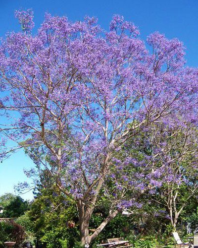 Muda de Caroba - Jacaranda macrantha