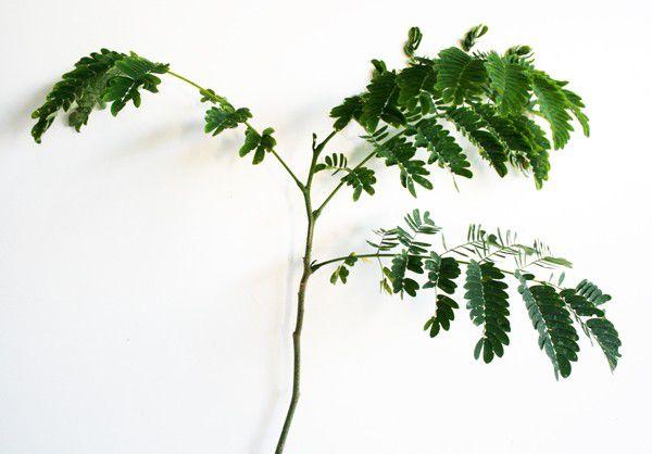 Muda de Cuvantã - Cupania vernalis