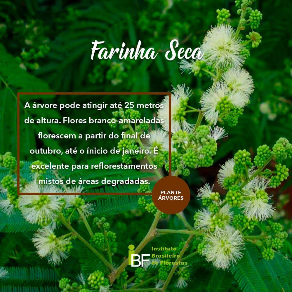 Muda de Farinha Seca - Albizia niopoides