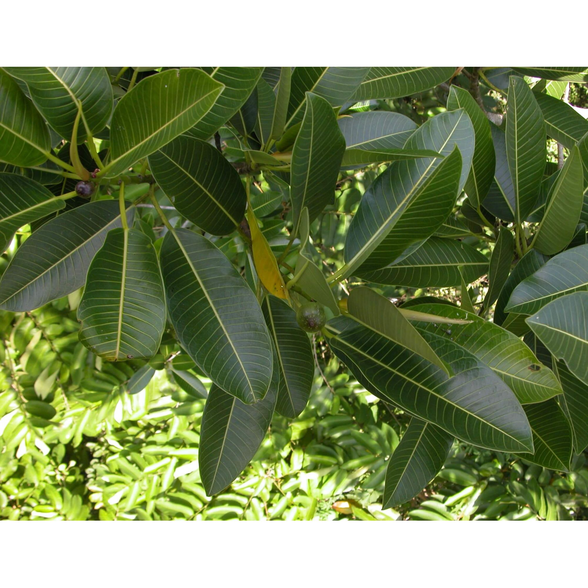 Muda de Figueira Mata Pau - Ficus insipida