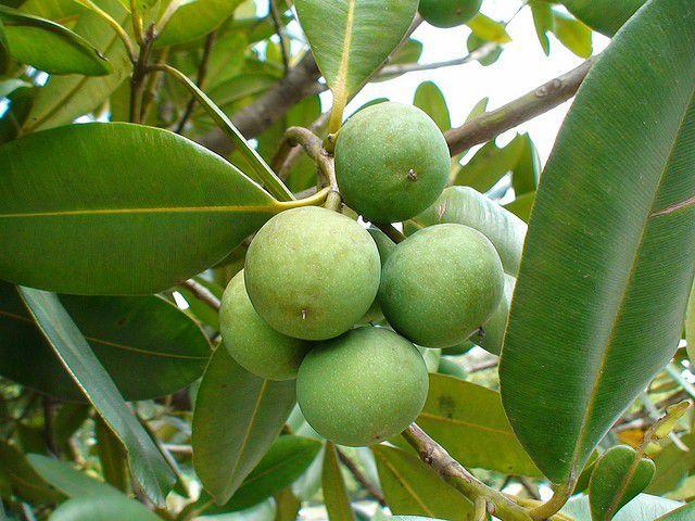 Muda de Guanandi - Calophyllum brasiliensis