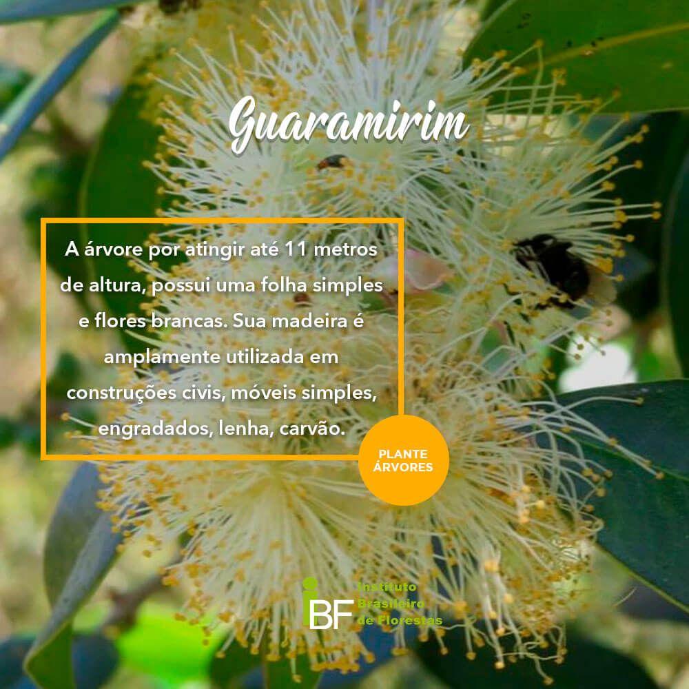 Muda de Guaramirim - Plinia rivularis