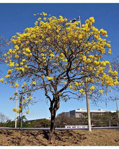 Muda de Ipê Amarelo da Serra - Handroanthus albus