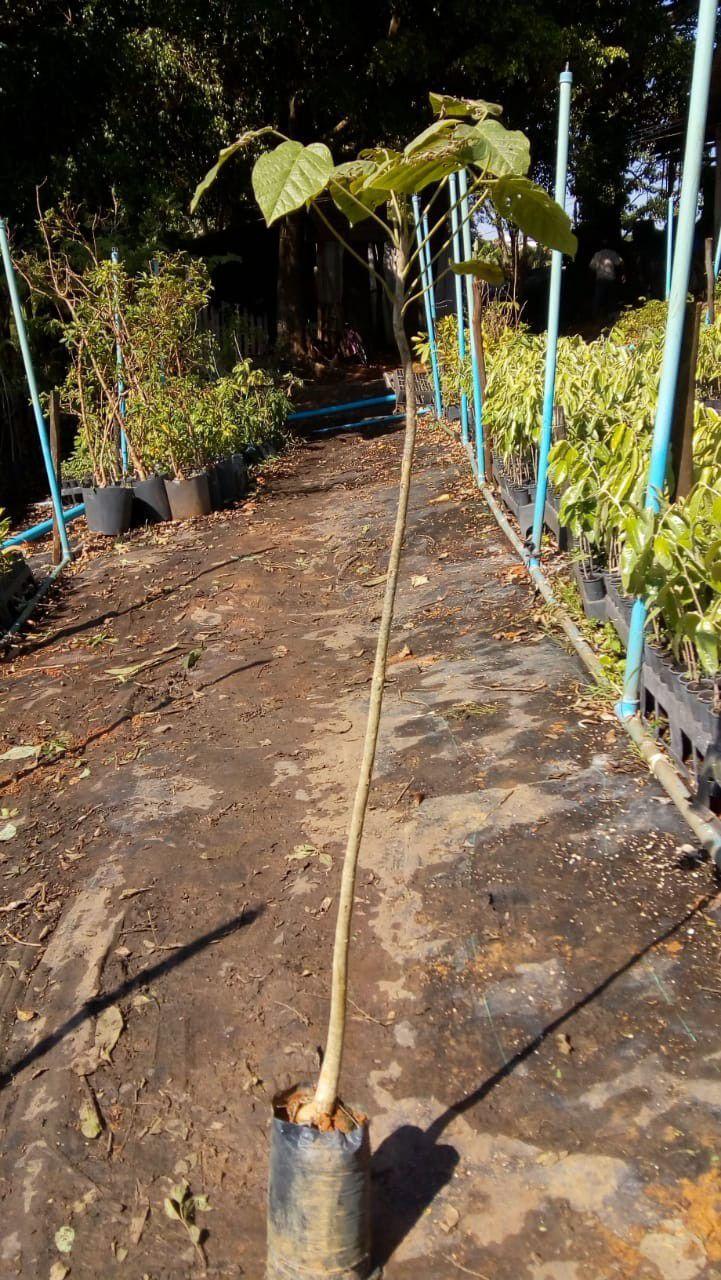 Muda de Ipê Branco - Handroanthus rosea - Alba