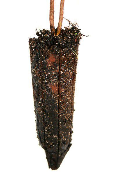 Muda de Jabuticaba Sabara - Plinia trunciflora