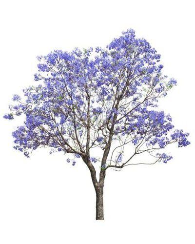 Muda de Jacarandá Mimoso - Jacaranda Mimosifolia