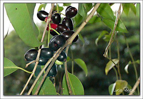 Muda de Jambolão - Syzygium jambolanum