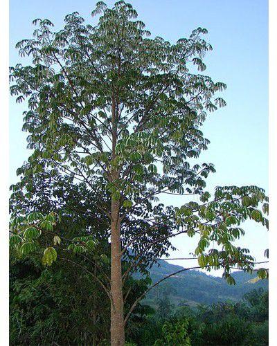 Muda de Jaracatiá - Jaracatia spinosa