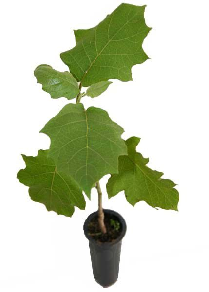Muda de Jurubeba - Solanum paniculatum