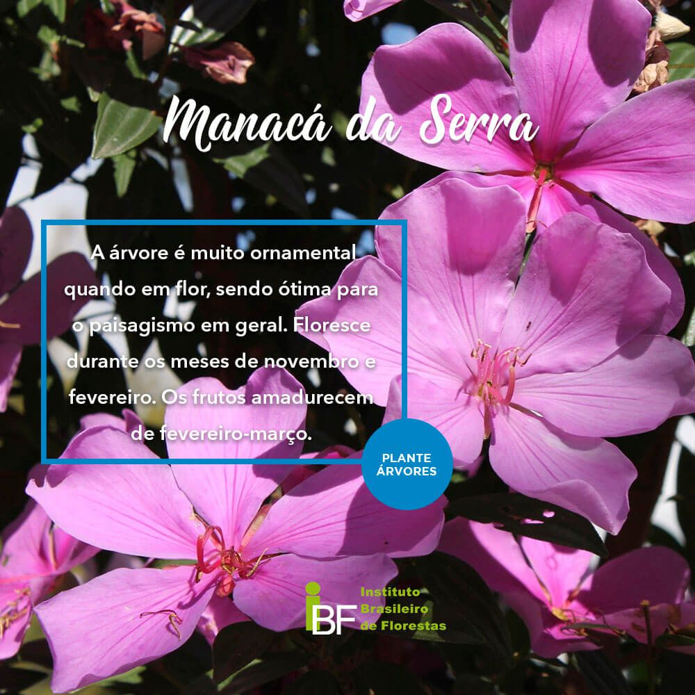 Muda de Manacá da Serra - Tibouchina mutabilis