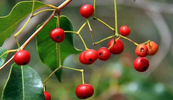 Muda de Maria Preta - Siphoneugena densiflora
