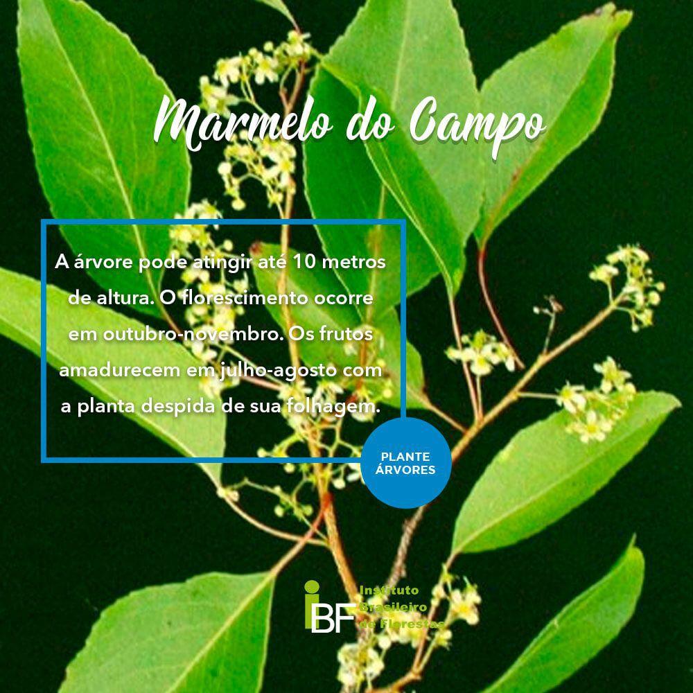 Muda de Marmelo do Campo - Austroplenckia popuknea