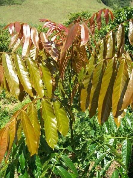 Muda de Mogno Africano - Khaya ivorensis/grandifoliola