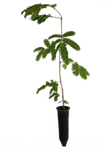 Muda de Monjoleiro - Senegalia polyphylla
