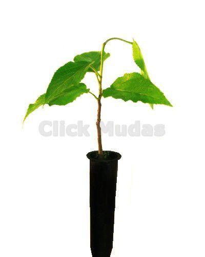 Muda de Mutambo - Guazuma ulmifolia