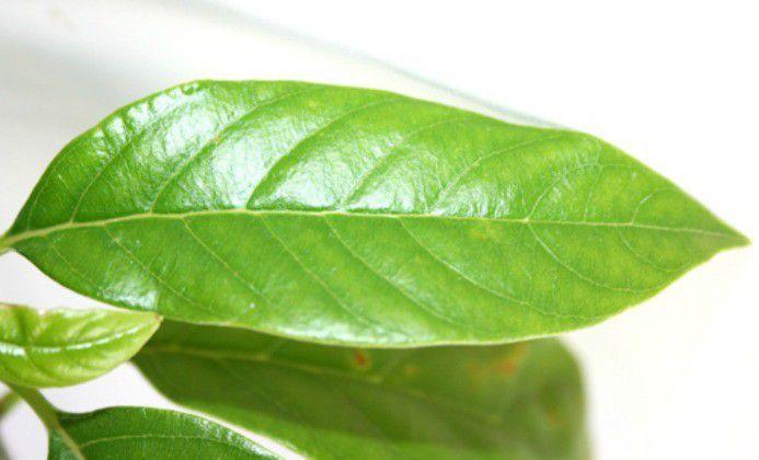 Muda de Pau D'Alho - Gallesia integrifolia