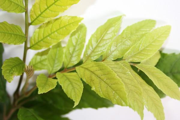 Muda de Pau Jangada - Heliocarpus popayanensis