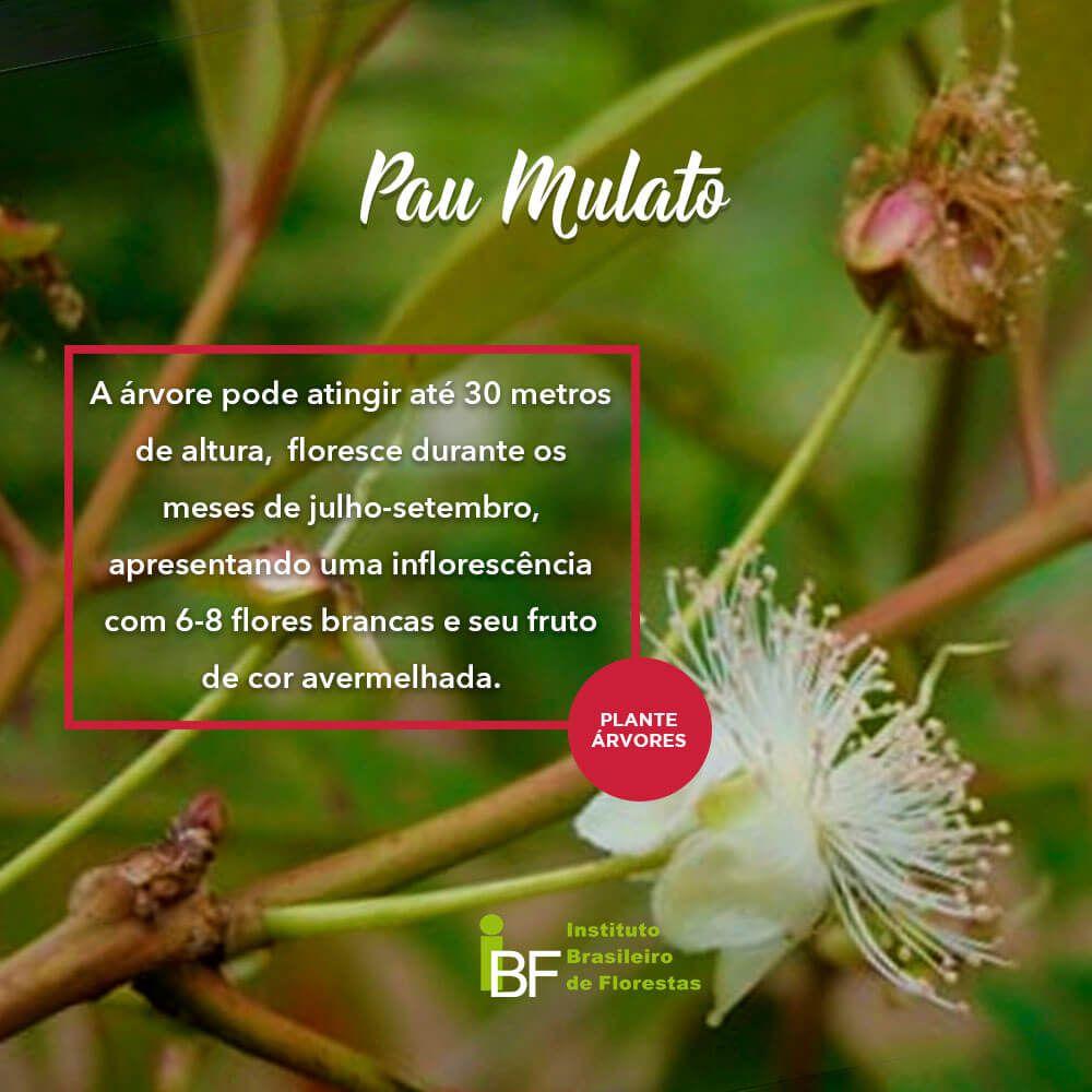 Muda de Pau Mulato - Eugenia multicostata
