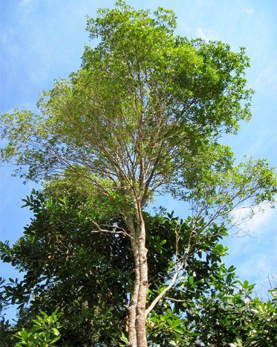 Muda de Peroba Vermelha - Aspidosperma parvifolium