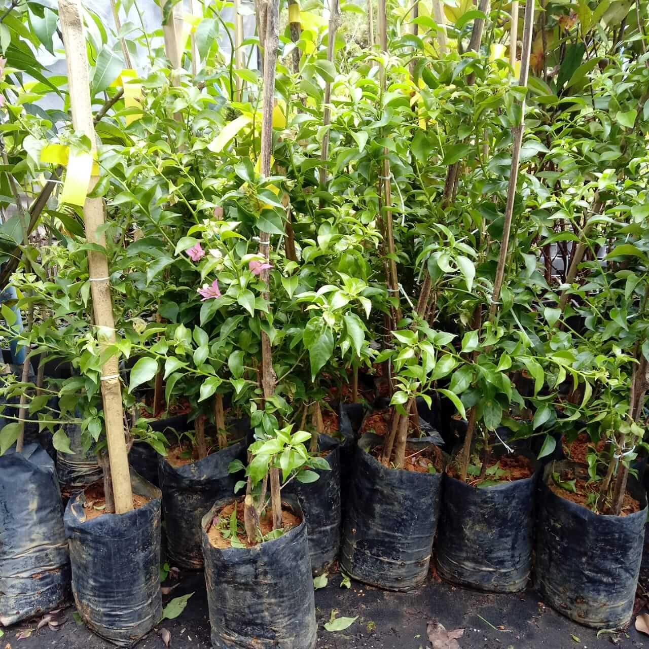 Muda de Primavera - Bougainvillea glabra