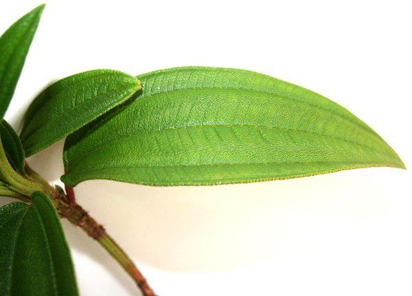 Muda de Quaresmeira - Tibouchina granulosa