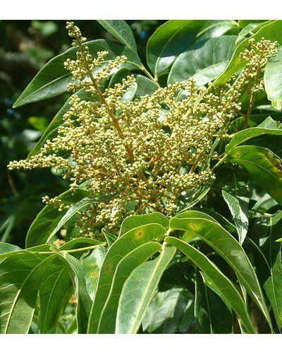 Muda de Saboeiro - Sapindus saponaria