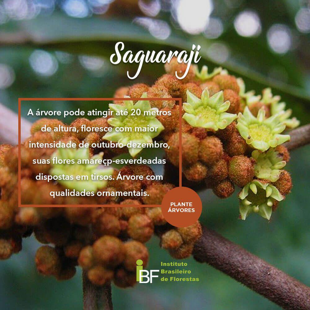 Muda de Saguaraji - Colubrina glandulosa