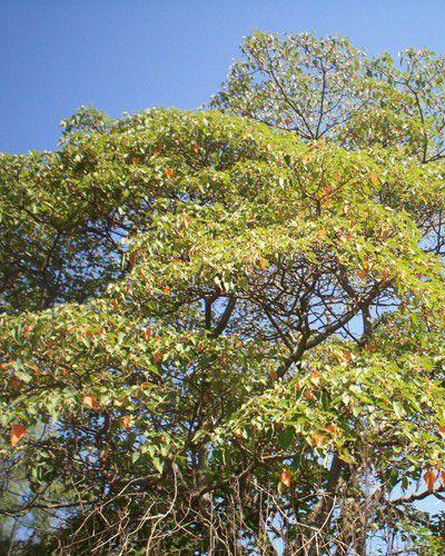 Muda de Sangra D'Água - Croton urucurana
